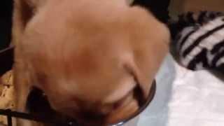 Правельное питание аппетит щенка/ The right nutrition appetite puppy