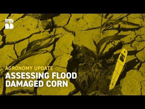 Assessing Flood Damaged Corn | Beck's Agronomy Update
