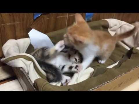 【猫おもしろ動画】子猫マジ喧嘩勃発(T^T)Funny Cats fight