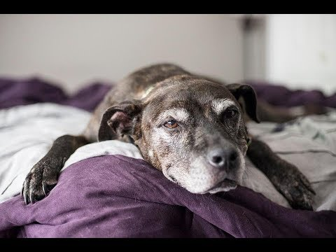 7 Months After A Family Adopted This Old Dog, They Somehow Knew It Was Time To Say Goodbye..