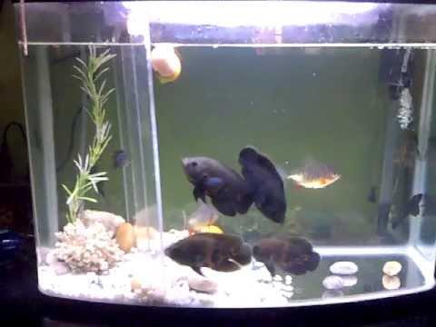 4 oscar with 2 piranha & 1 baby long body flowerhorn by ...