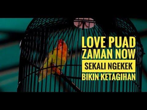 SUARA BURUNG : Lovebird Zaman Now!! TULIP Sekali Ngekek Bikin Ketagihan