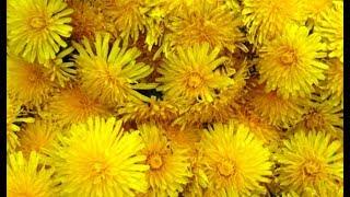 Варенье из 400 одуванчиков. Homemade honey from 400 dandelions.