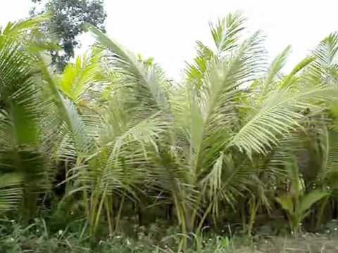vườn dừa cây, cây dừa giống ,cây dừa