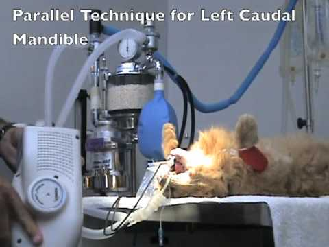 Veterinary Dentistry - Full Mouth Cat Dental Radiography