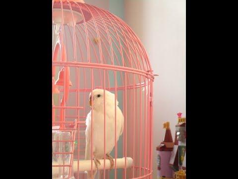 Попугай альбинос учит стихи Есенина за завтраком.