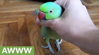 Parakeet (Animal)