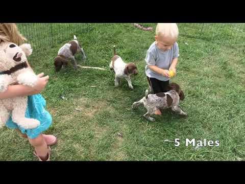 Kimber x Grouser GSP Puppies Born 7-25-18