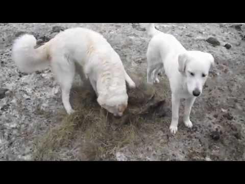LGD puppies still training with livestock - Old Man Farm