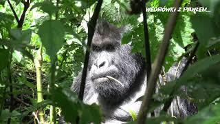 Goryle w DR Konga. Podróże Pawła Krzyka, film UHD-4k