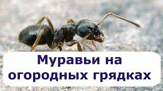 318. МУРАВЬИ на огородных грядках. Три способа как избавиться от муравьев.