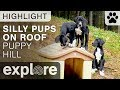 Funny Puppies Standing on Dog House - Great Dane Puppy Live Cam Highlight 10/24/17