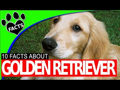 golden-retriever-dogs-101