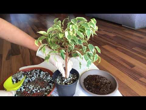 Бонсай из Фикуса Бенджамина в виде деревца. Часть І
