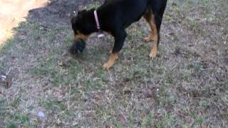 Adopt Me! Buddy The Young Rottweiler Pup