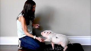 How to Train a Mini Pig to Shake