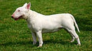 ***How To Potty Train A Bull Terrier Puppy Free-Mini Course***