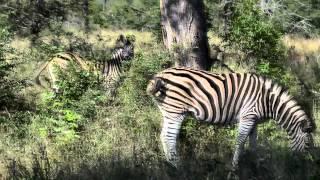 Zebry - Kruger National Park. RPA (HD)