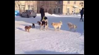 Собачьи своры на городских улицах