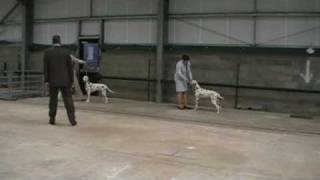 Dalmatian - Dalendale Quiet Riot Showing At Welsh Kennel Club 2009