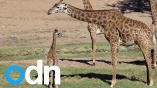Cute baby giraffes at San Diego Zoo