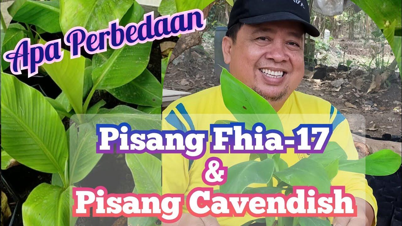 Perbedaan Antara Pisang Fhia 17 Dengan Pisang Cavendish Youtube