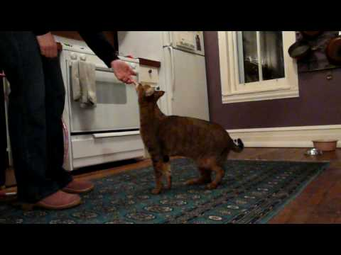 Clive F1 chausie cat doing tricks