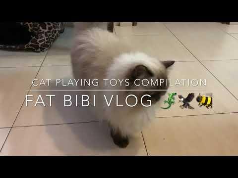 Himalayan Cat playtime Compilation [Fat Bibi Vlogs] #himalayanbreed #playfulcat