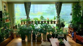 베란다 없는 확장형 거실에서 잘 크는 식물은? /초록초…