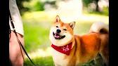 Объявления о продаже собак и щенков в сыктывкаре на avito. Цена не указана. Spitz, pomeranian. Карело-финская лайка, щенки. 25 000 ₽.