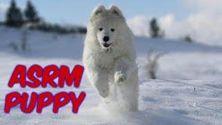 #ASMR DOG ЩЕНОК САМОЕД ИГРАЕТ В СНЕГУ Собака Улыбака Funny Dog Samoyed Puppy ASRM Sniffing & Playing