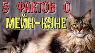 5 интересных фактов о Мейн-кунах / Кошки домашние животные