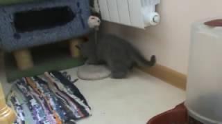 Голубой британский котенок играет. П-к Silvery Snow.