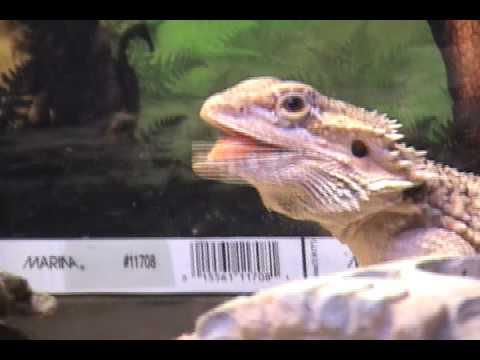 Talking Lizard
