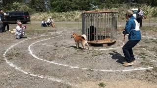 2019.6.19 もう檻熊に慣れてしまった! #山菜 #山菜採り #北海道犬 #ア...