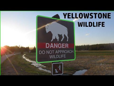 Wildlife At Yellowstone!
