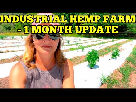 INDUSTRIAL HEMP UPDATE – 1 month update post planting