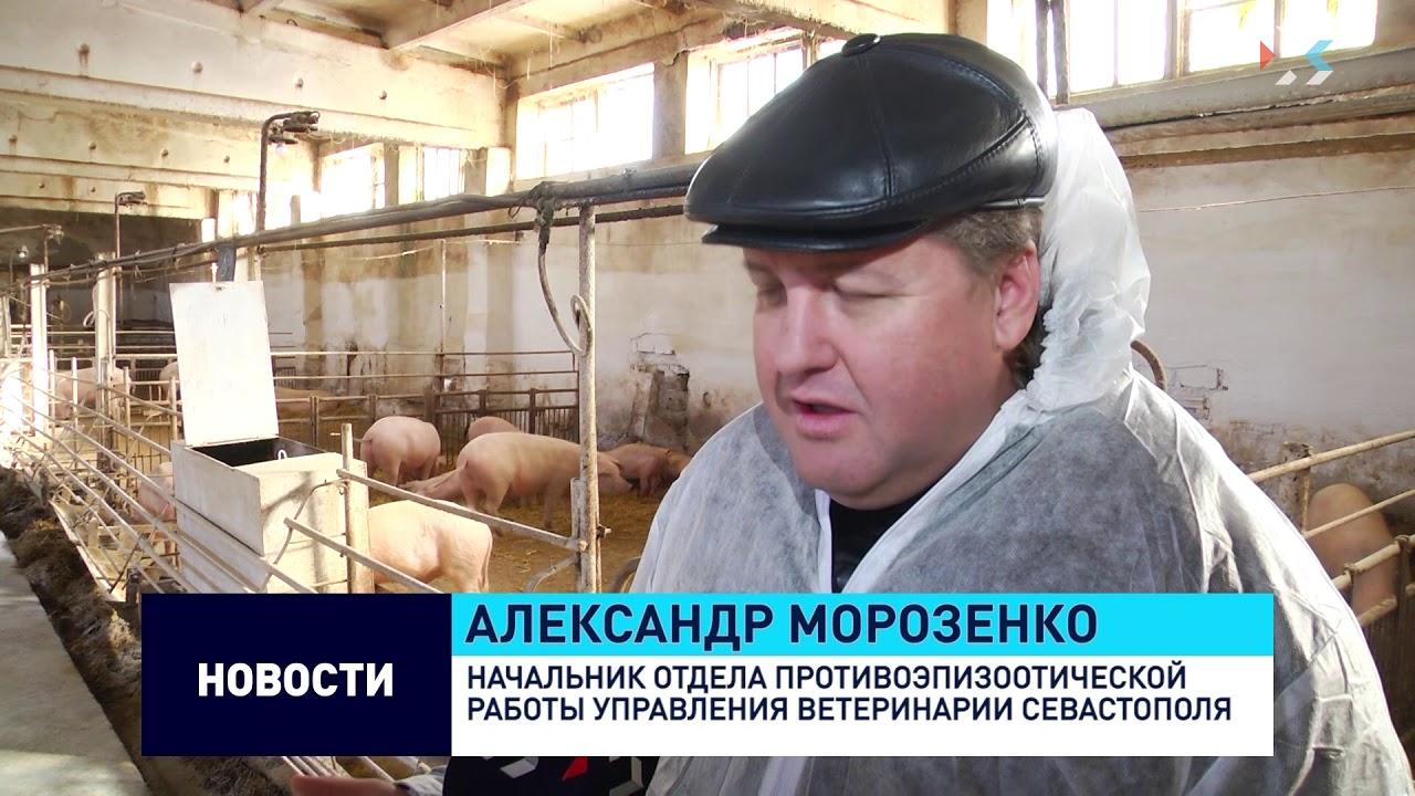 В Севастополе вакцинируют от классической чумы свиней