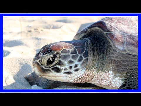 Climate change turns one of the world's largest green sea turtle populations mostly female