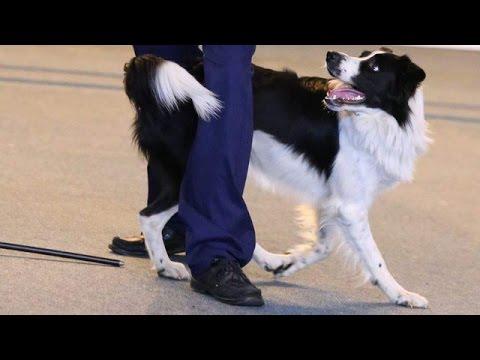 Compilation Dog Dancing Giby