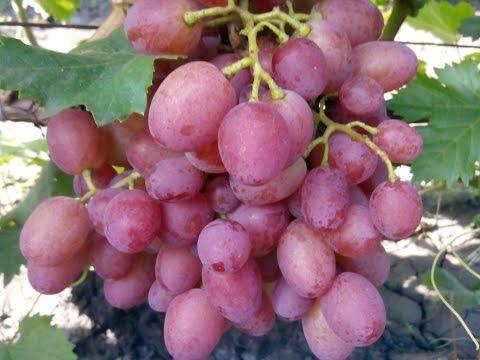 Сорта винограда для начинающих! | размножить | начинающих | ивредители | посадить | виноград | обрезка | болезни | осенью | лучшие | сорта