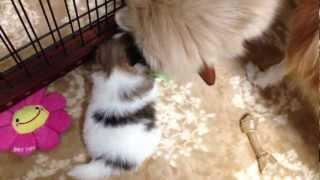 ポメラニアンのヒメの子犬達です。まだ生後1か月ですが、母親に似てデ...
