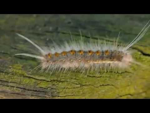 The Most Poisonous Caterpillar The Puss Caterpillar Youtube