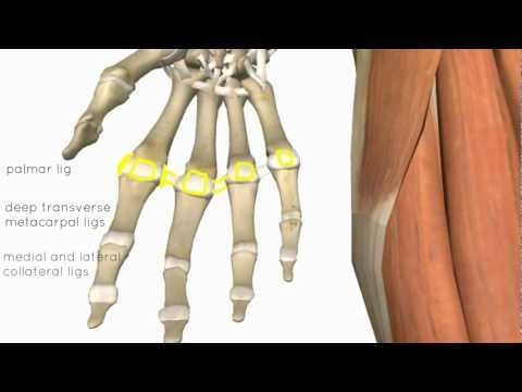 Wrist and Hand Joints - 3D Anatomy Tutorial