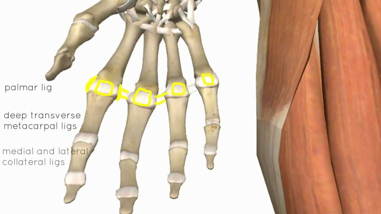 Wrist and Hand Joints - 3D Anatomy Tutorial - YouTube
