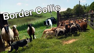 Border Collie | Smart Dog | Cachorro Pastor de Ovelhas