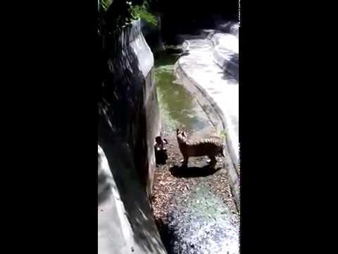Watch Tiger kills man in Delhi Zoo - Original Video