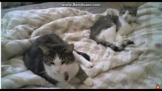 Кошки зевают и кричат. Смешные коты