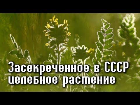 ЗАСЕКРЕЧЕННОЕ РАСТЕНИЕ в СССР, для избранных ЛЕЧИТ ПОЧТИ ВСЕ БОЛЕЗНИ!