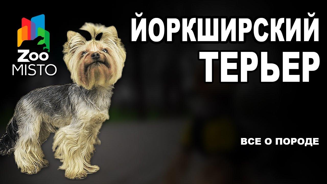Йоркширский терьер - Все о породе собаки | Собака породы ...